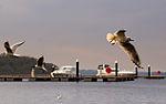 Lough Key black headed gulls.jpg
