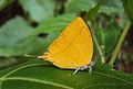 Loxura atymnus - Yamfly 28.JPG