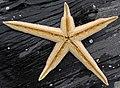 Luidia clathrata (lined starfish) (Cayo Costa Island, Florida, USA) 2 (24234670891).jpg