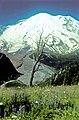 Lupine, bistort and etc. Dead tree. White River. Emmons Glacier. 81978. slide (6754235778d24173b6c9b01353e8a4cd).jpg