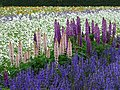 Lupine Flowers at Farm Tomita - Nakafurano - Hokkaido - Japan (48006042068).jpg