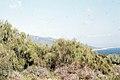 Lygos monosperma pods. Spain (37725033952).jpg