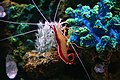 Lysmata amboinensis Shrimp.jpg