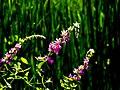 Lythrum flowers (2740785418).jpg