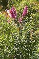 Lythrum salicaria 1.jpg