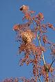Macleaya cordata - Panicules.jpg