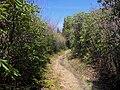 Maddron-bald-rhododendron-gsmnp1.jpg