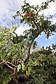 Madeira, Palheiro Gardens - Brugmansia sanguinea (westliches Südamerika) IMG 2234.JPG
