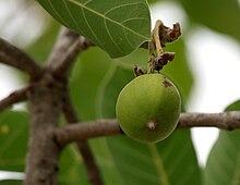 Madhuca longifolia var latifolia (Mahua) fruit W IMG 0245.jpg