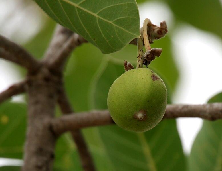Madhuca longifolia var latifolia (Mahua) fruit W IMG 0245