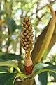 Magnolia doltsopa kz03.jpg