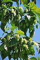 Magnum variety harvest in Sighisoara Romania.jpg
