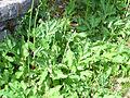Magydaris panacifolia Hojas 2012-5-31 SierraMadrona.jpg