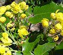 Mahonia aquifolium3.jpg