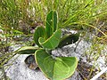 Mairia coriacea Helme 1.jpg