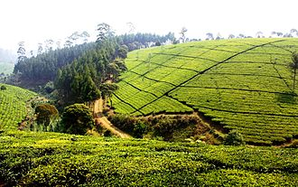 West Java - Tea plantations in Malabar, southern Bandung. Tea plantations are common sight across mountainous West Java