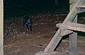 Malay Civet (Viverra tangalunga) (14628520062).jpg
