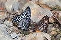 Malayan Zebra (Graphium delessertii delessertii) (left) and Lesser Zebra (Graphium macareus xanthosoma)(right) (23960882043).jpg