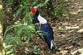 Male Swinhoes's Blue Pheasant.jpg