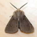 Male muslin moth - diaphora mendica (42322391112).png