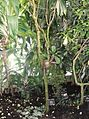 Malpighiales - Breynia disticha f. nivosa 1.jpg