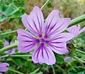 Malva sylvestris, flower 2.JPG