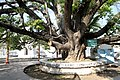 Mandalay-Kuthodaw-22-Boddhibaum-gje.jpg