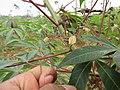 Manihot esculenta - Tapioca - Cassava at Periya (4).jpg
