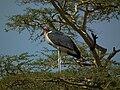 Marabou Stork Leptoptilos crumeniferus in Tanzania 3615 Nevit.jpg
