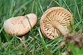 Marasmius oreades garden 050829B.JPG