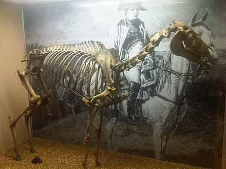 The skeleton of Napoleon's Arabian horse, Marengo, on display at the National Army Museum in London Marengo - National Army museum 2.jpg