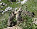 Marmottes en Vanoise (10).JPG