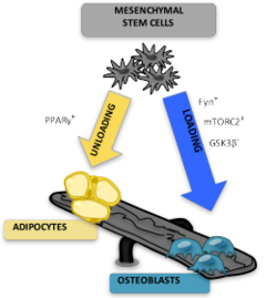 Marrow Adipocytes are derived from mesenchymal stem cell (MSC) differentiation.png