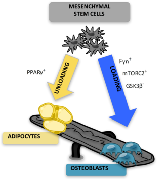 Marrow adipose tissue - Illustration of MSC differentiation into adipocytes and osteoblasts