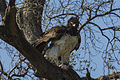 Martial Eagle - Mara - Kenya S4E7401 (15526799382).jpg
