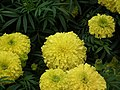 Marygold from Lalbagh flower show Aug 2013 8418.JPG