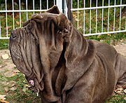 Neapolitan Mastiffs have a distinctive face with large flews and a dewlap