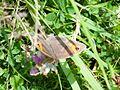 Meadow Brown (Maniola jurtina) (7637946962).jpg