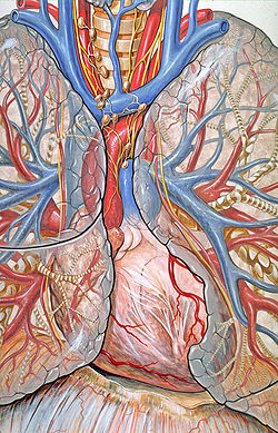 Mediastinum - Wikipedia, the free encyclopedia