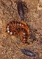 Mediterranean Banded Centipede (Scolopendra cingulata) and Sowbugs (Porcellio sp.) under a stone ... (35770728414).jpg