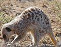 Meerkat (Suricata suricatta) foraging ... (32443974531).jpg
