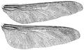 Meganeura monyi wings Brongniart 1893.png
