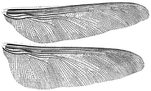 Meganeura - Wing venation of Meganeura monyi, redrawn after Brongniart (1893, Pl. XLI)