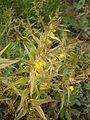 Melampyrum sylvaticum 001.JPG