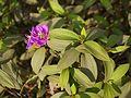 Melastoma malabathricum ssp. malabathricum (5600668674).jpg
