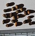 Melicytus obovatus seeds, by Omar Hoftun.jpg