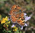 Melitaea phoebe occitanica (Knapweeed Fritillary) - Flickr - S. Rae.jpg