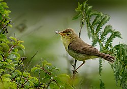 Melodious warbler (Hippolais polyglotta), Le Petit Loc'h, Guidel, Brittany, France (19765512360).jpg