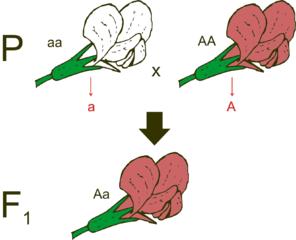 Korsning mellan en homozygot vit och en homozygot röd blomma resulterar i enbart heterozygota, röda blommor (F₁-generation).