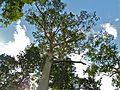 Mengaris (Koompassia excelsa) (Fabaceae) (8080141529).jpg
